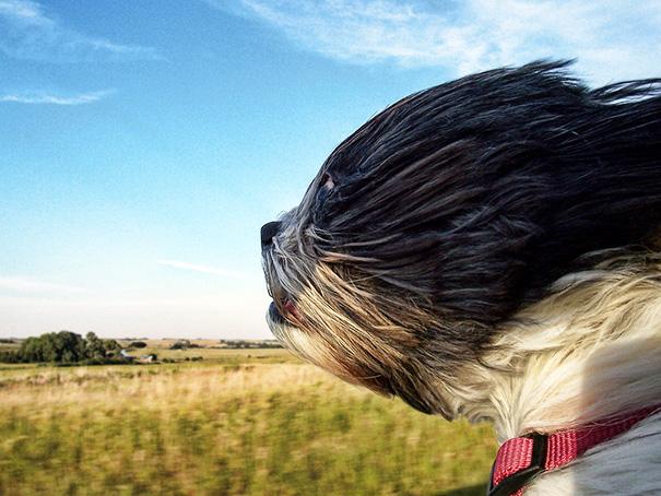perros viajando en coche 8