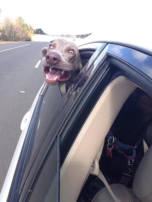 perros viajando en coche 9