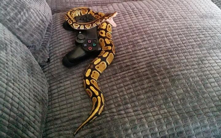 serpiente en un mando
