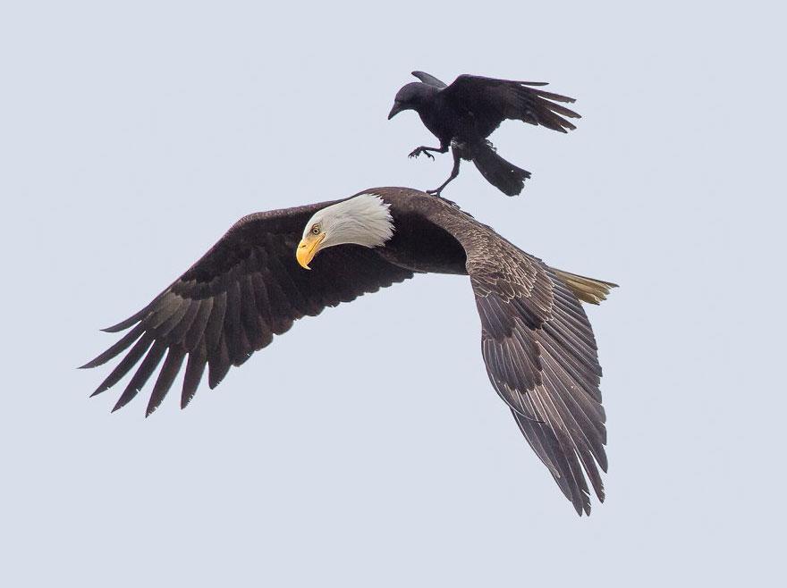 cuervo aguila