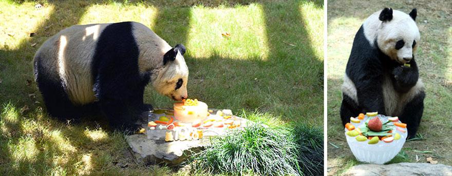oso panda mas viejo 3