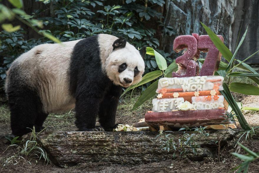 oso panda mas viejo
