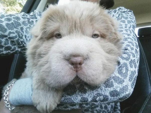 perro muy peludo 2