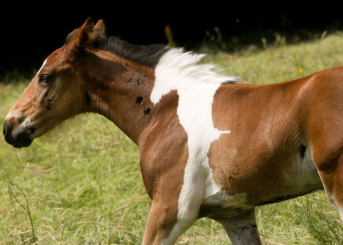 potro caballo