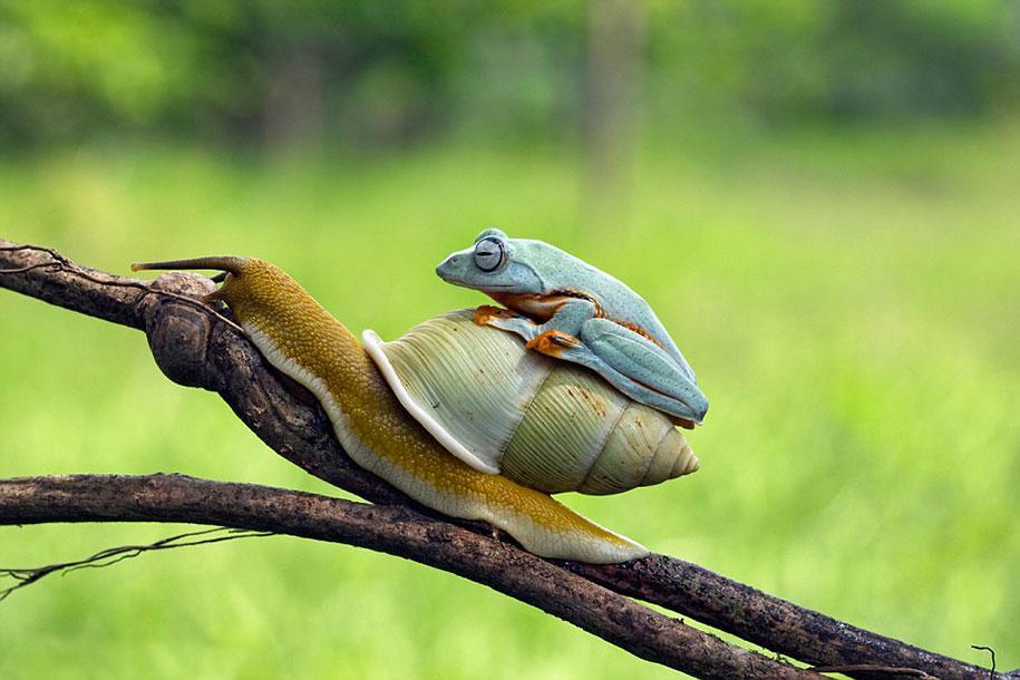rana caracol 2