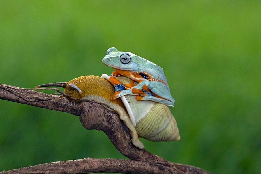 rana caracol 3