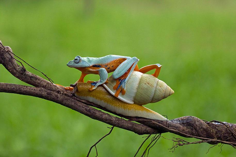 rana caracol 4