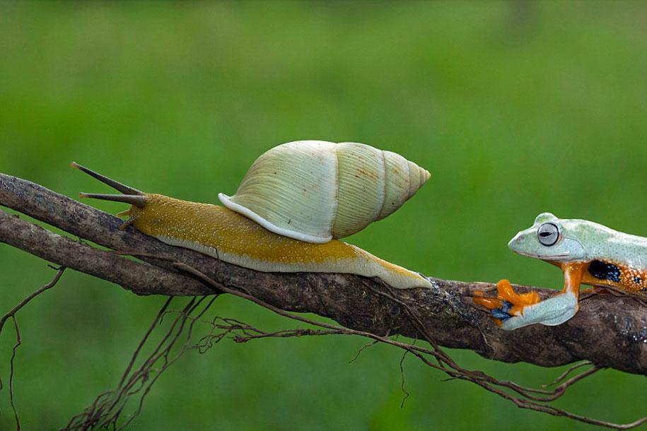 rana caracol