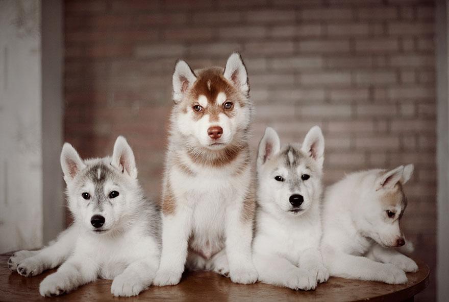 huskies 3