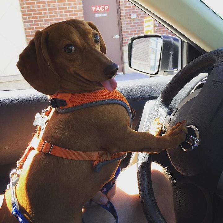 perro salchicha conductor
