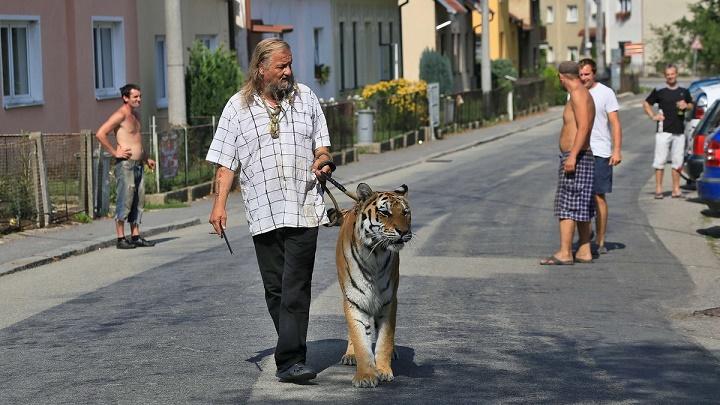 tigre como mascota