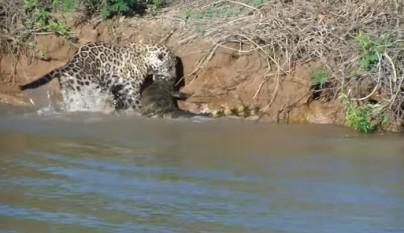 jaguar caiman