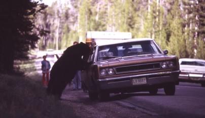 oso coche