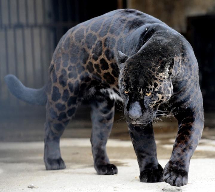 jaguar leona