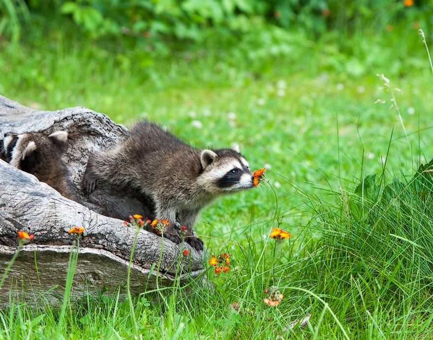 animales oliendo flores 8