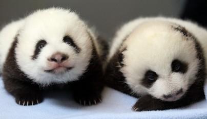 osos panda bebe