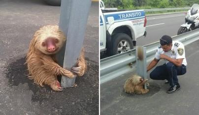 policia rescatando a un oso perezoso 2
