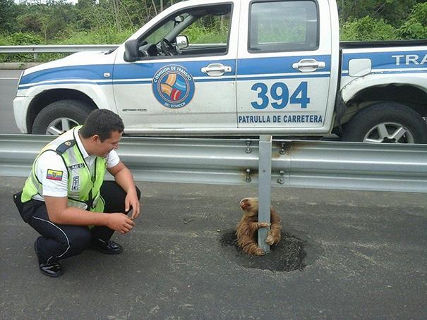 policia rescatando a un oso perezoso 3
