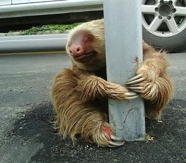 policia rescatando a un oso perezoso 5