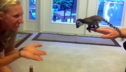 bebe lemur