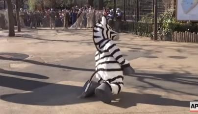 simulacro cebra
