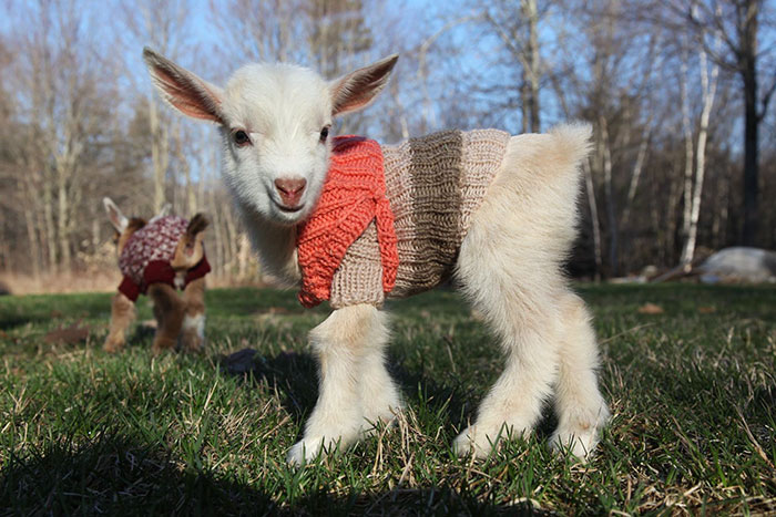 cabritos con jerseis 1