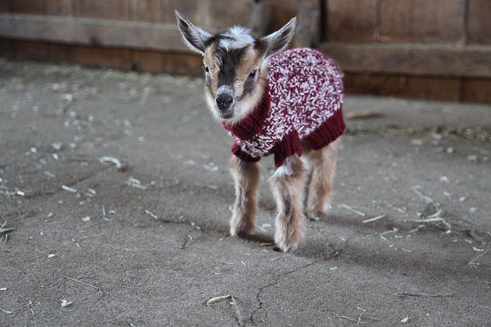 cabritos con jerseis 2