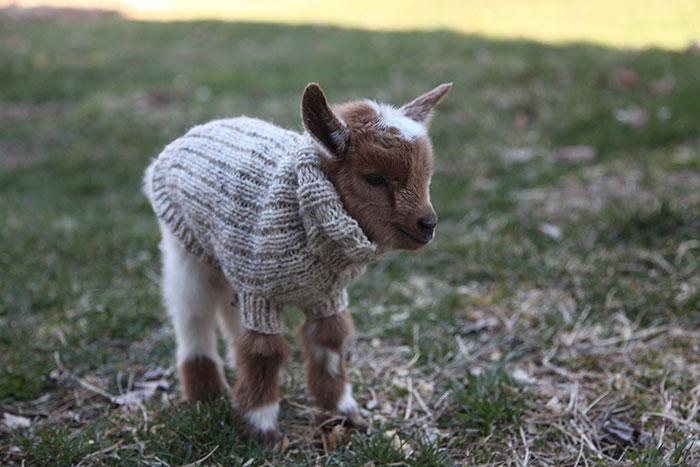 cabritos con jerseis 3