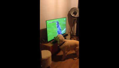 golden retriever viendo un partido de futbol