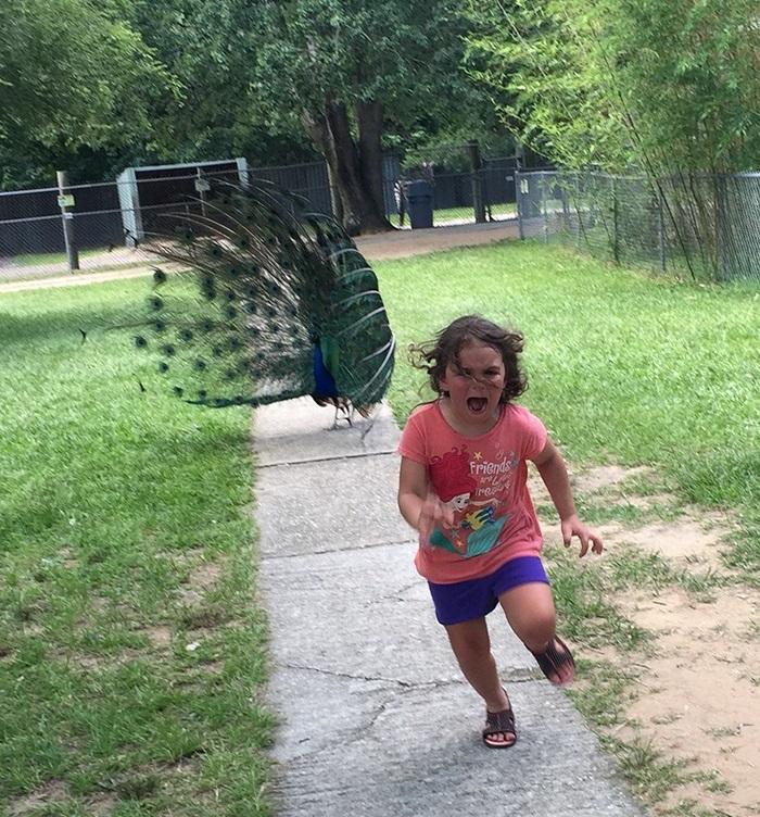 detailed look 646fe 9b48a Divertidos montajes con la foto de una niña perseguida por un pavo real