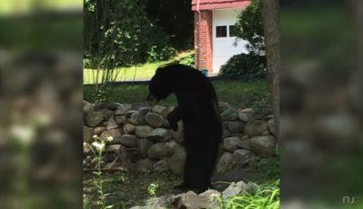 oso a dos patas