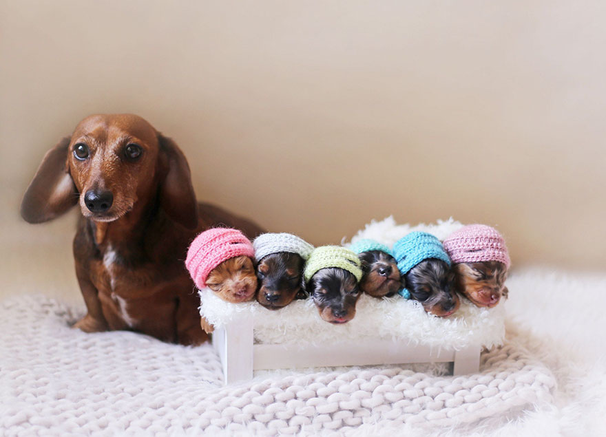 perritos salchicha 1