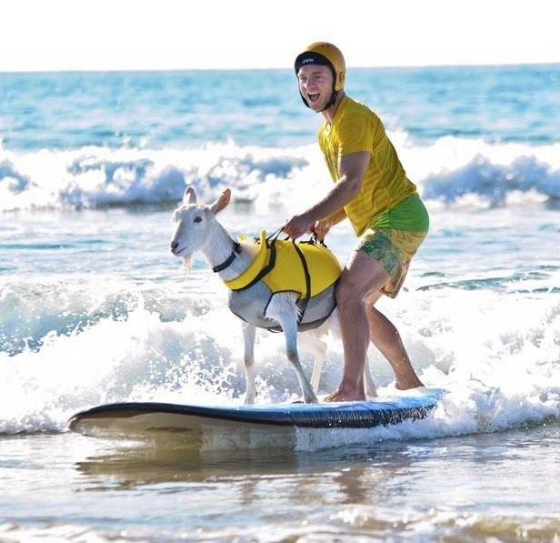 cabra surfeando