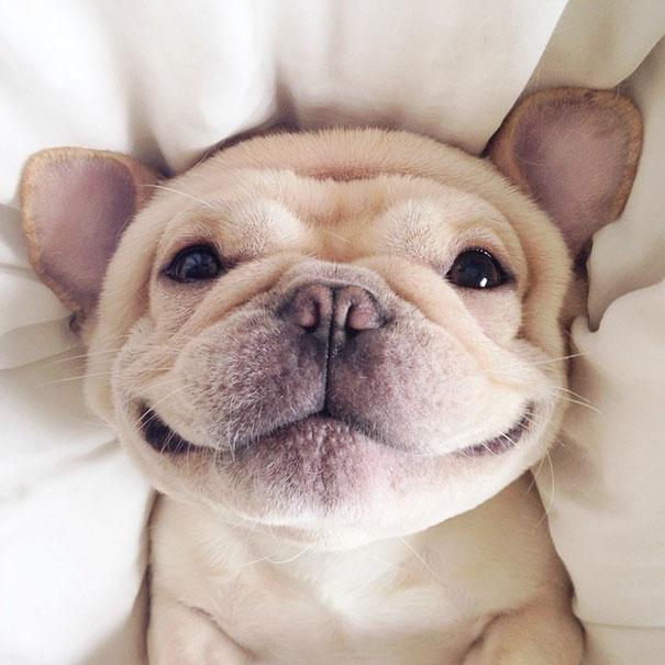 milo bulldog 1