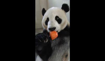 oso panda helado