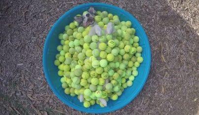 perro pelotas tenis
