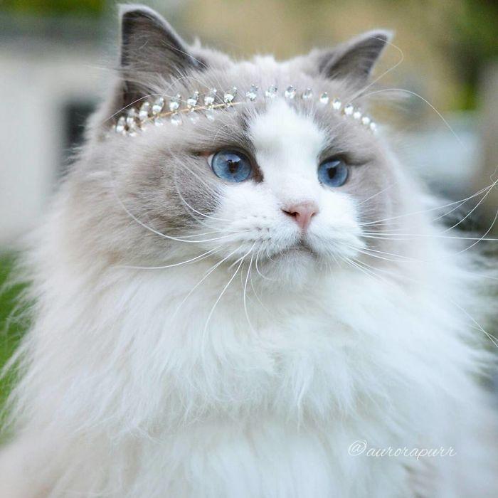 4554d8258 Aurora, la gata que posa como una princesa en Instagram - Donvago.com
