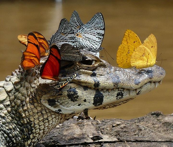 caiman-con-una-corona-de-mariposas-2