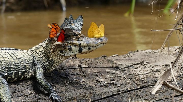 caiman-con-una-corona-de-mariposas