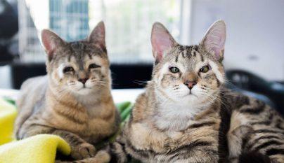 gatos-sin-parpados-5