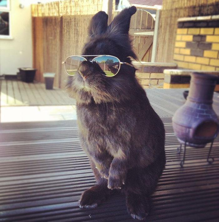 569f5a88fefaf Un conejo con gafas de sol se somete a una batalla de Photoshop