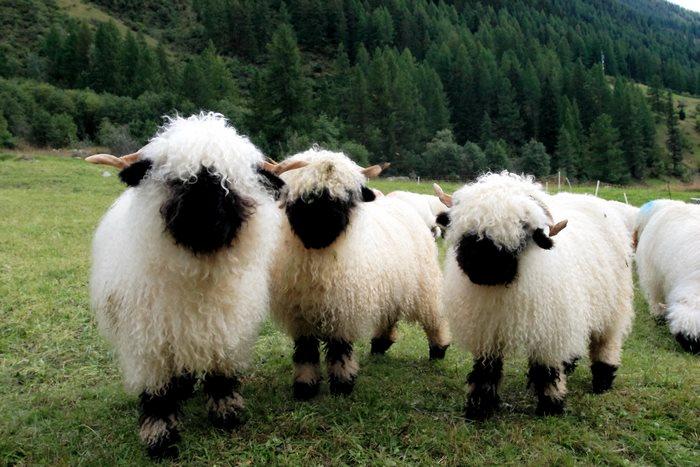 ovejas-de-valais-1