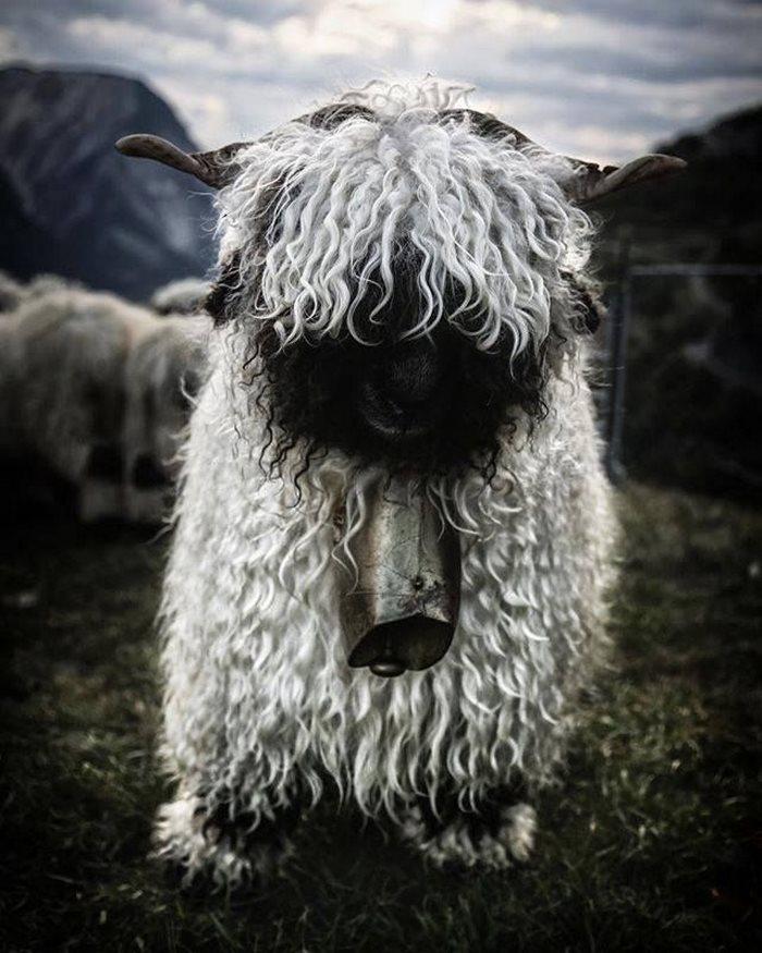 ovejas-de-valais-2