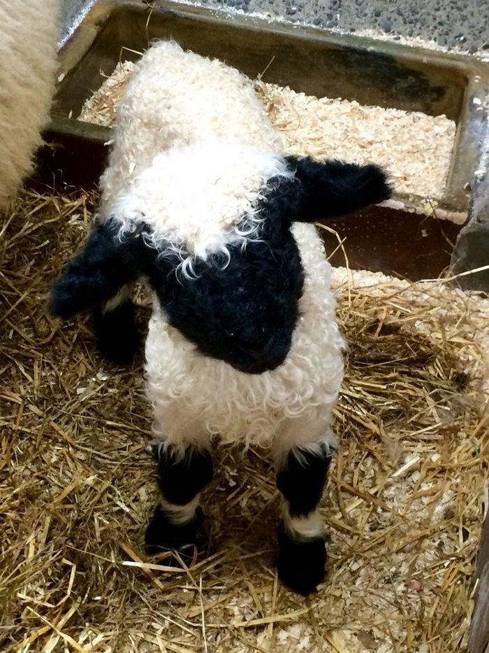 ovejas-de-valais-3