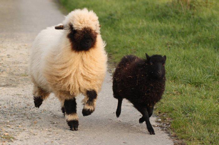 ovejas-de-valais-4