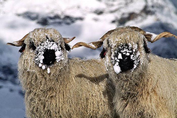 ovejas-de-valais-5