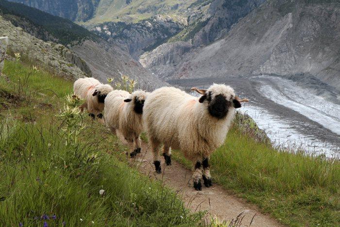 ovejas-de-valais-6