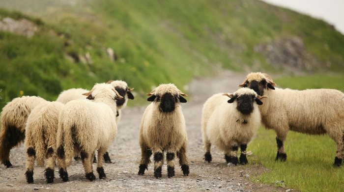 ovejas-de-valais-7
