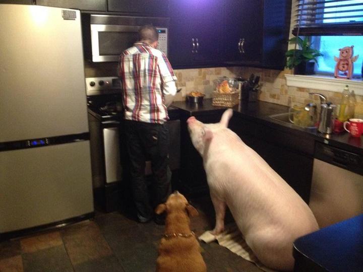 aceptamos-cerdo-como-animal-de-compania