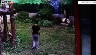 lucha-con-un-oso-panda